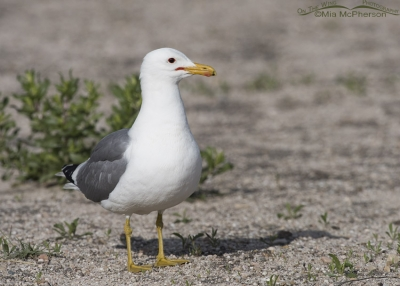 Adult California Gull in breeding plumage on Antelope Island