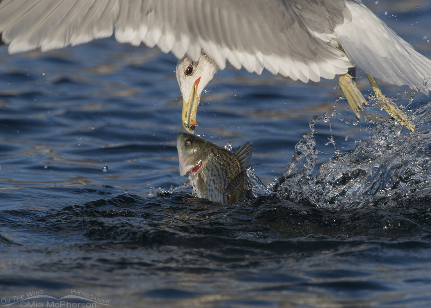 California Gull and a large fish