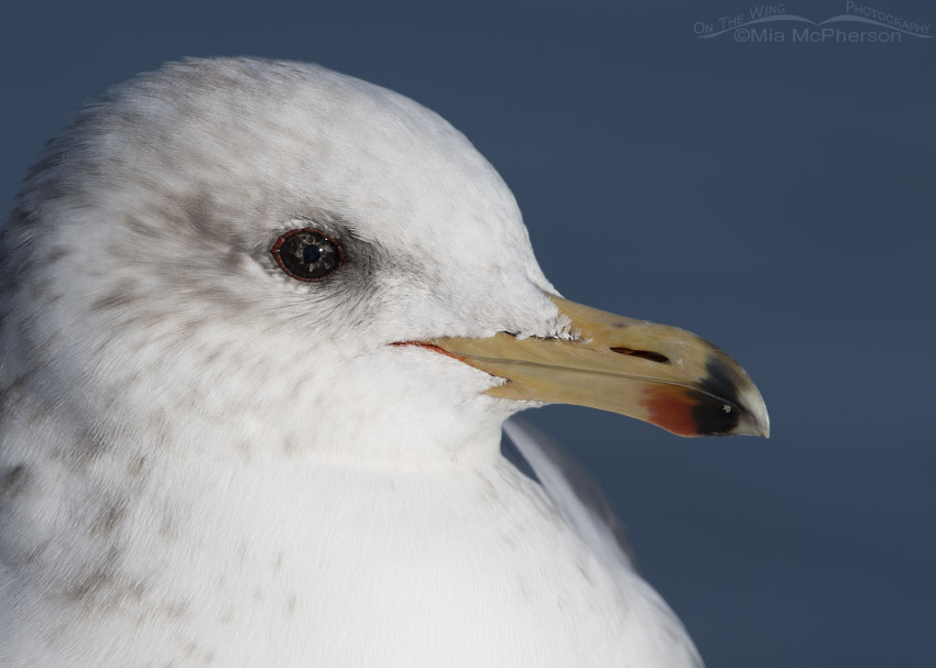 Close up showing eye color variation in a California Gull