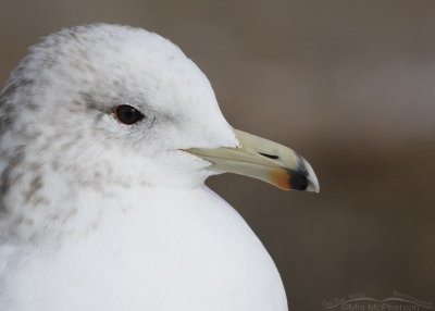 California Gull close up in nonbreeding plumage