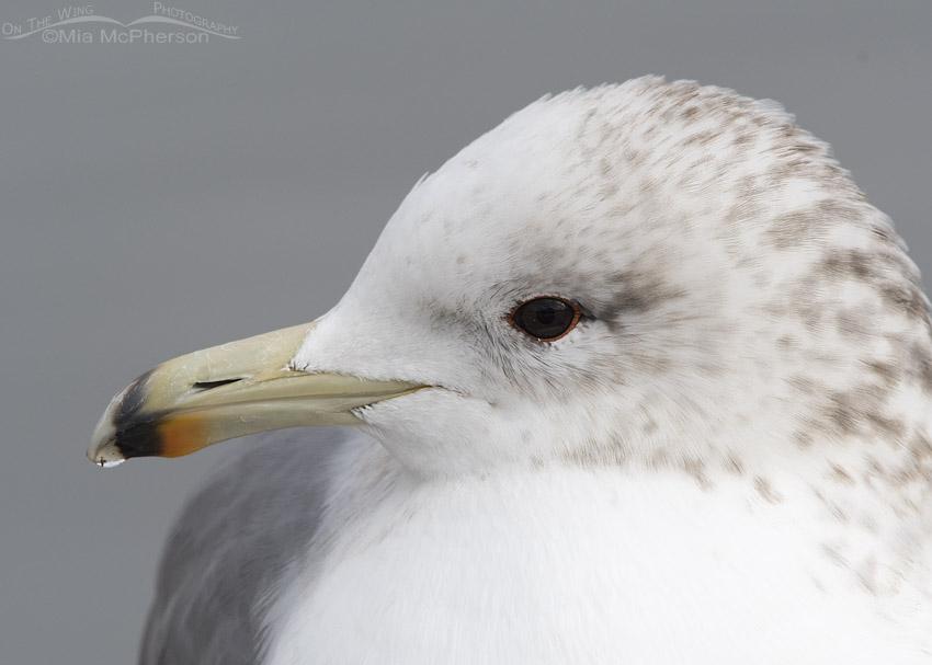 California Gull close up in December