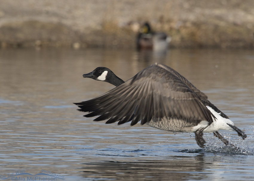 Canada Goose getting a running start