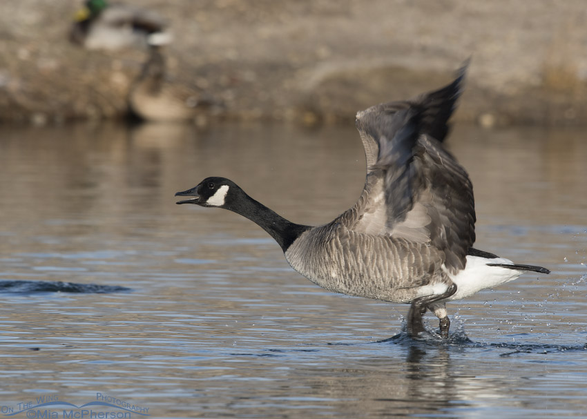 "Canada Goose ""running on water"""