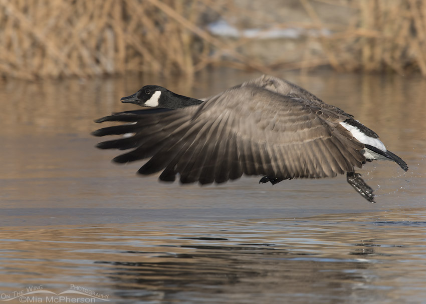 Canada Goose morning lift off
