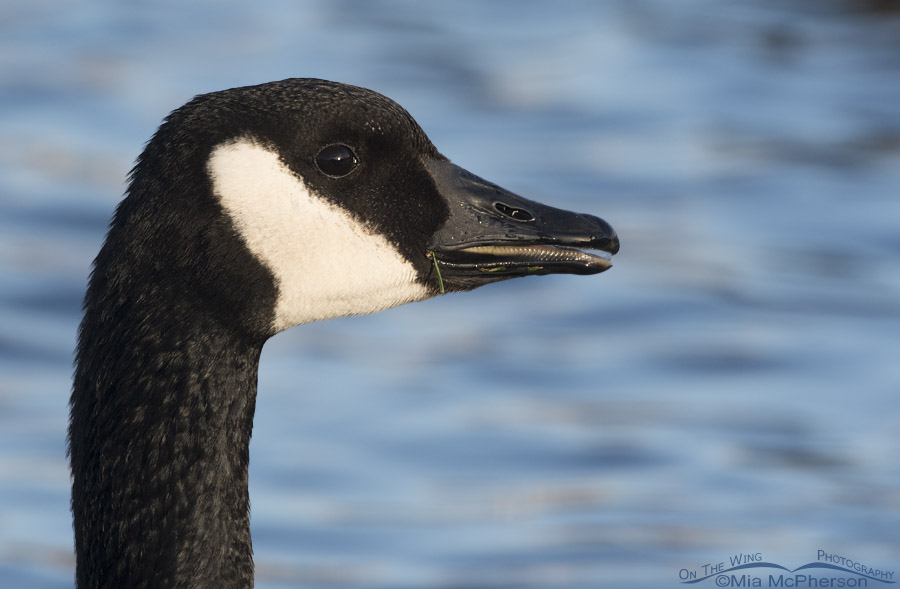 Canada Goose portrait with open bill