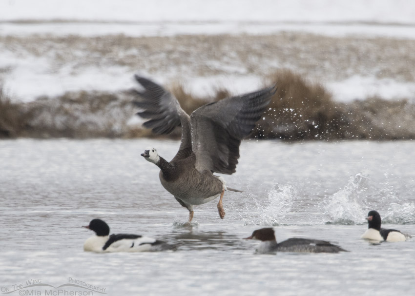 Canada Goose hybrid taking off from a pond