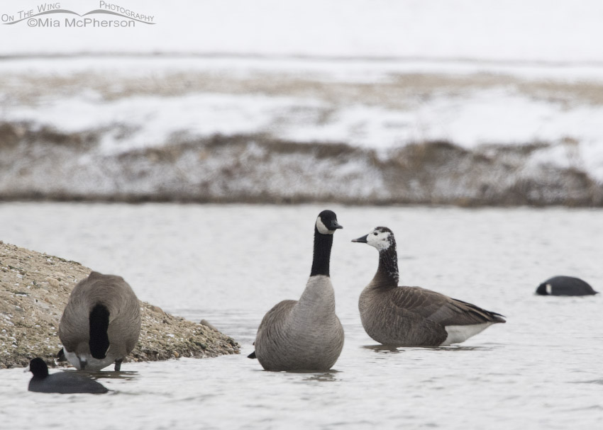 Canada Goose hybrid in Salt Lake County