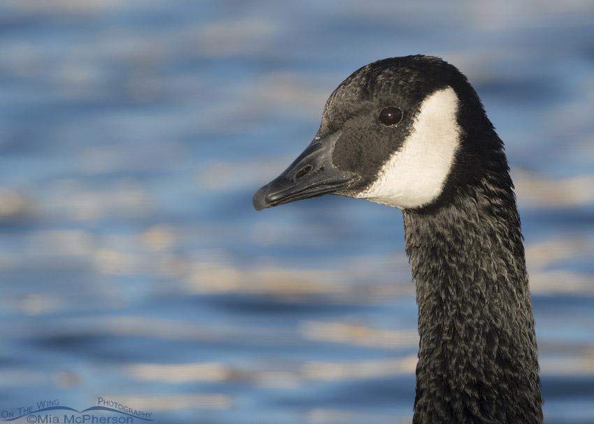 Adult Canada Goose close up