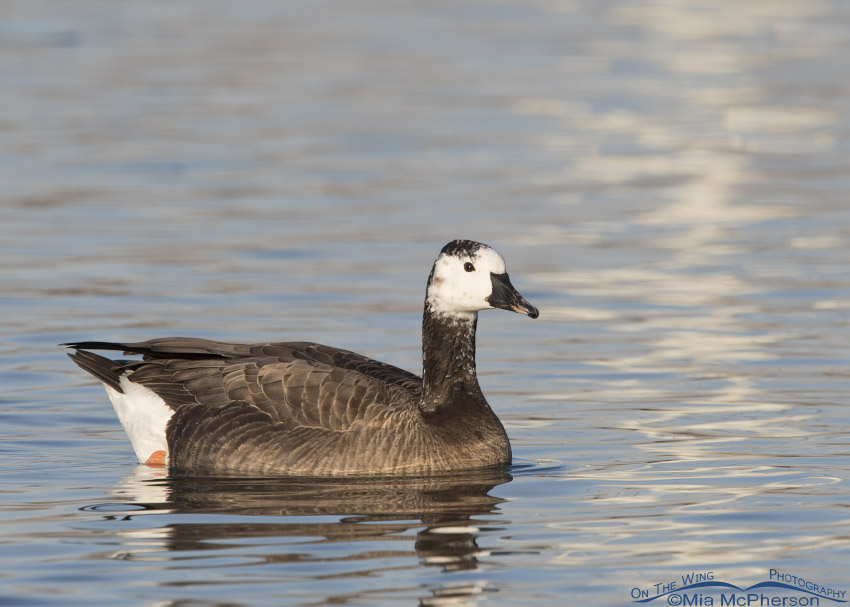 Canada x Snow Goose hybrid on a clear winter morning