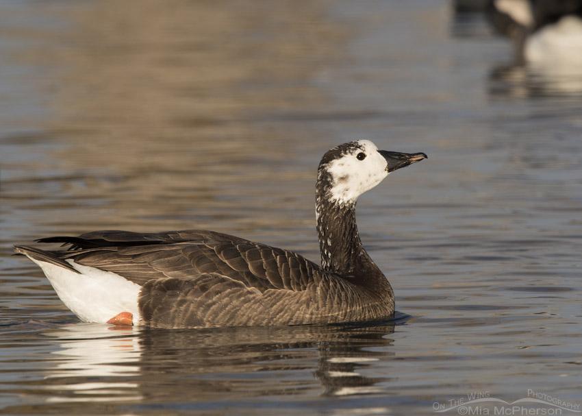 Canada x Snow Goose hybrid in morning light