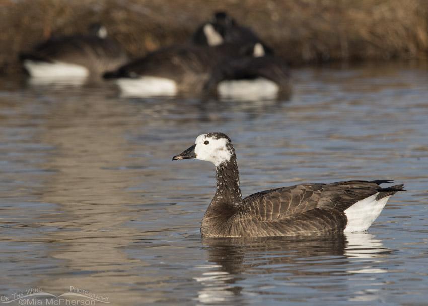 Canada x Snow Goose hybrid winter 2016