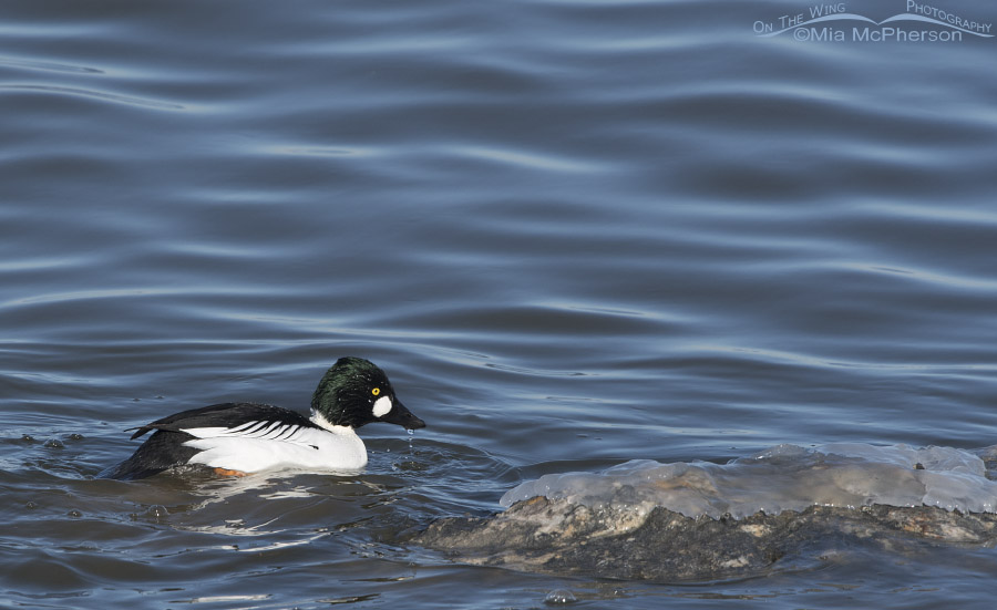 Male Common Goldeneye feeding in the Great Salt Lake