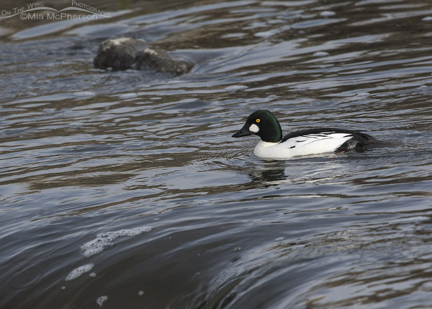 Drake Common Goldeneye on the Jordan River
