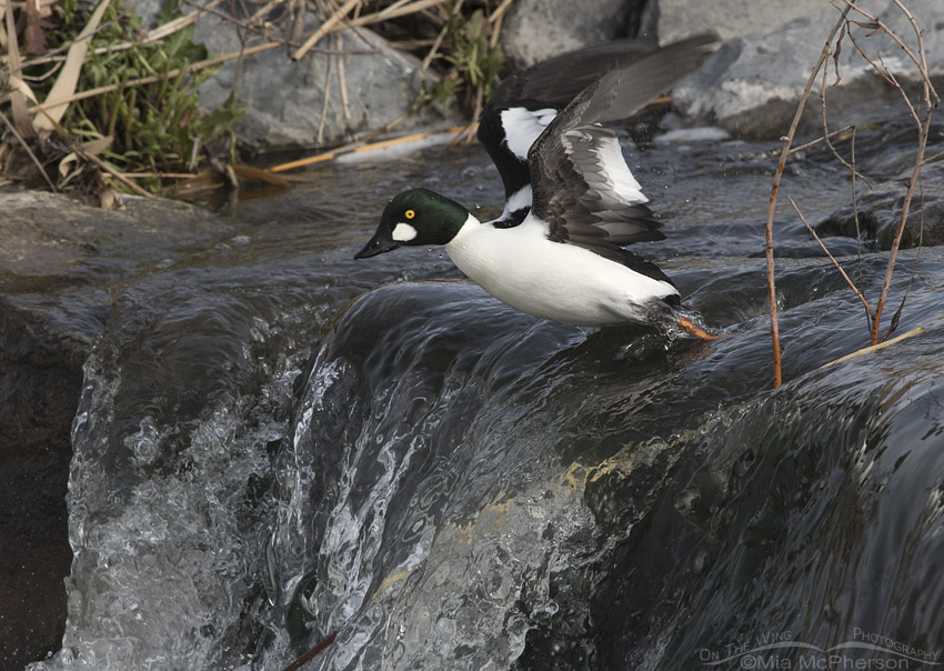 Male Common Goldeneye taking off from the top of some rapids