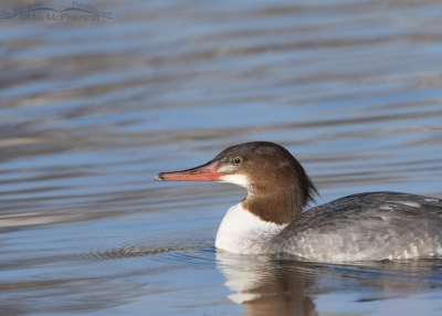 Common Merganser close up