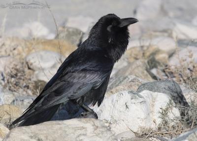 Common Raven near the Great Salt Lake