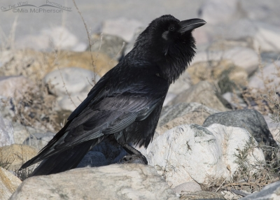 Common Raven on the shore of the Great Salt Lake