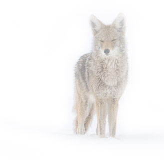 Coyote in a Snow Storm