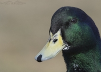 Domestic Mallard with a hidden face