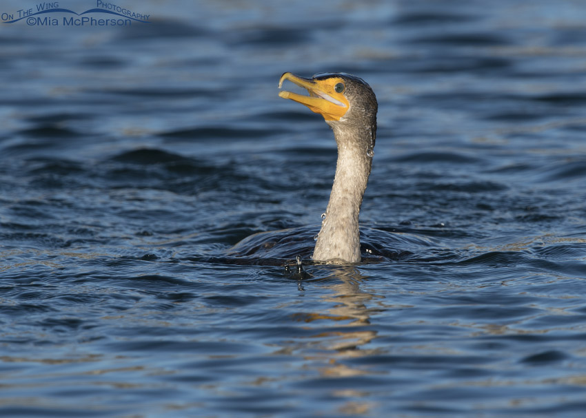 Double-crested Cormorant swimming close up