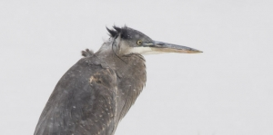 Immature Great Blue Heron in a Christmas Snow Storm