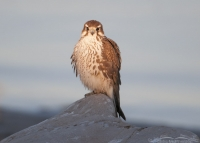 Prairie Falcon at sunrise next to the Great Salt Lake