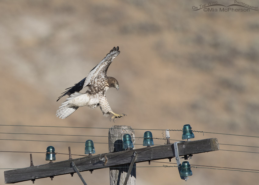 Red-tailed Hawk juvenile landing on a telegraph pole