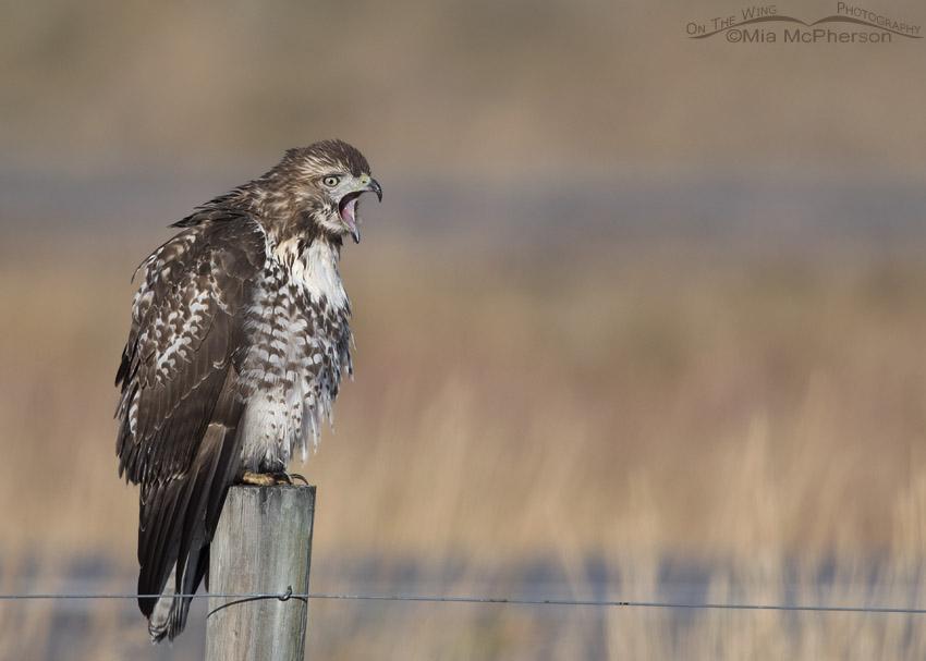 Yawning juvenile Red-tailed Hawk next to I-15