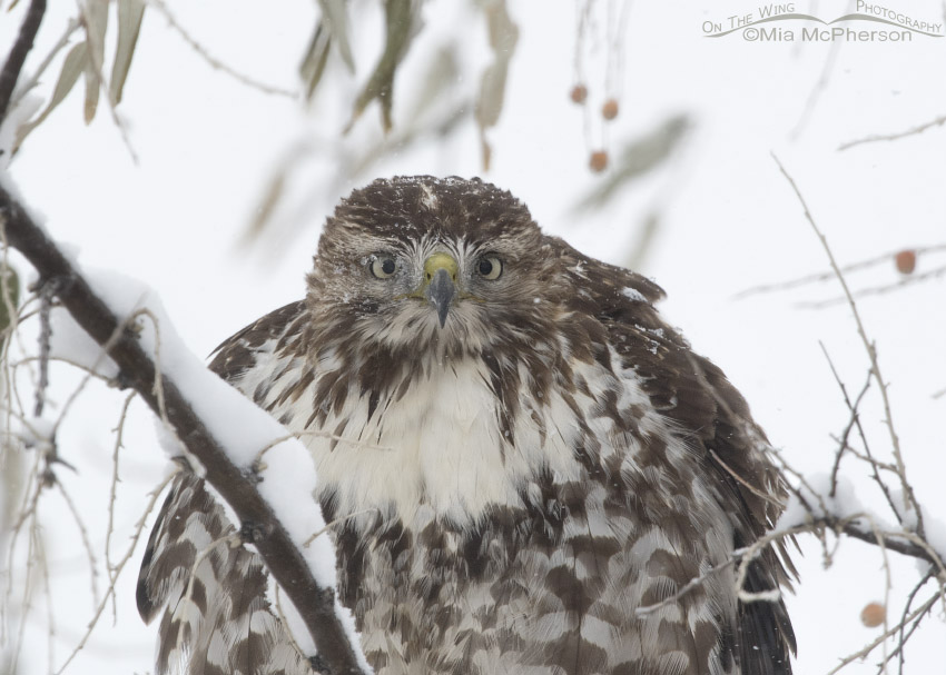 First year Red-tailed Hawk close up