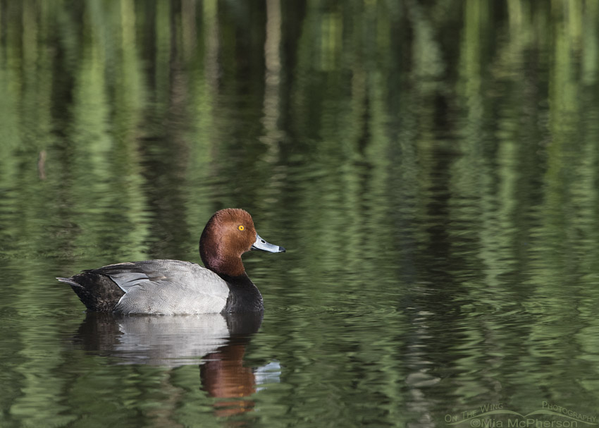 Drake Redhead at Bear River MBR in spring