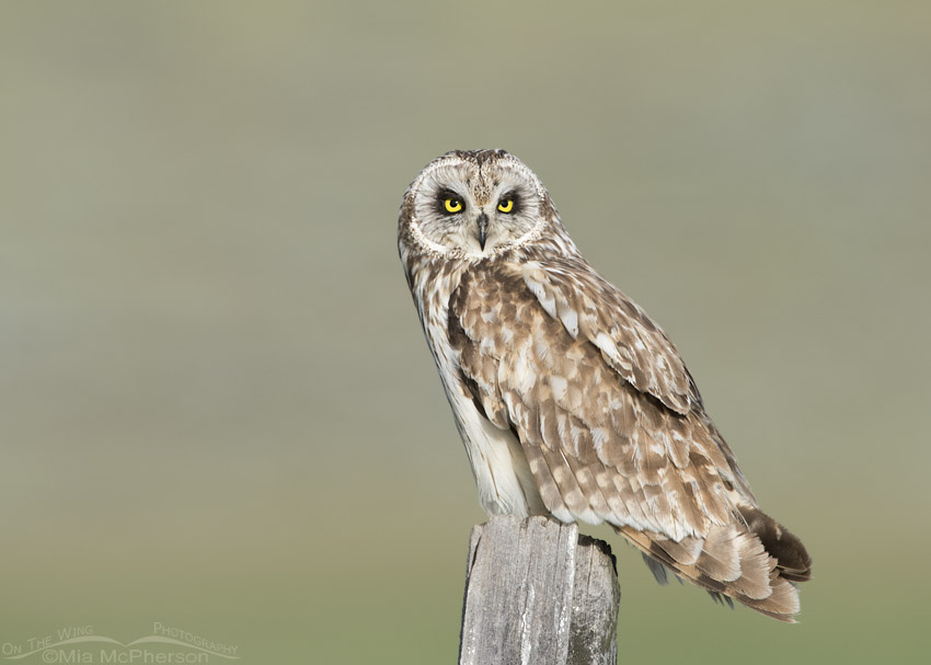 Adult male Short-eared Owl staring at me