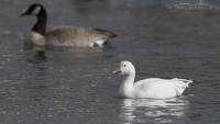 Lone Snow Goose on Willow Pond