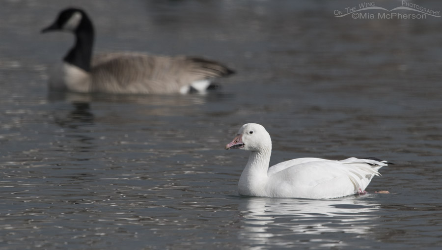 Lone Snow Goose on Willow Pond