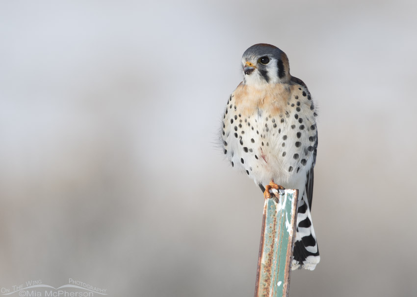Pale-chested American Kestrel in Box Elder County