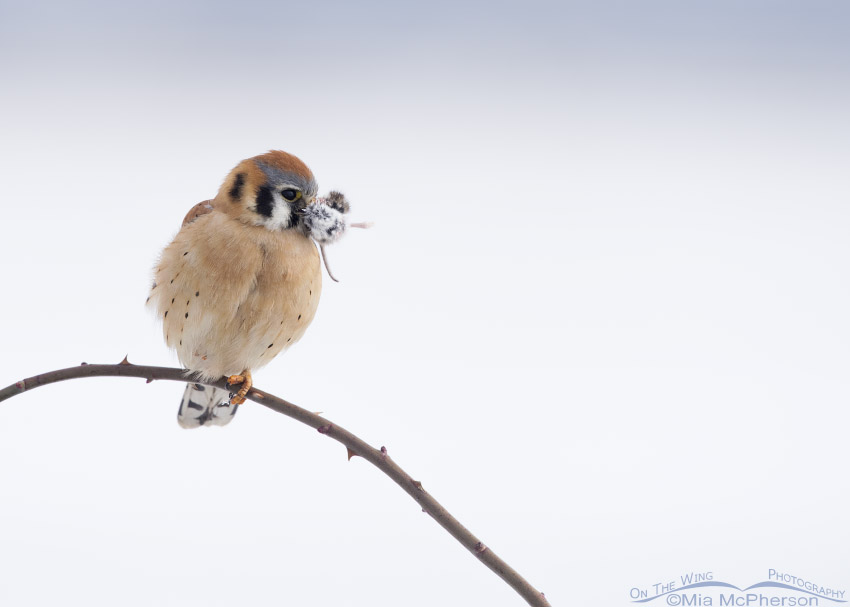 Male American Kestrel with prey on a snowy winter day