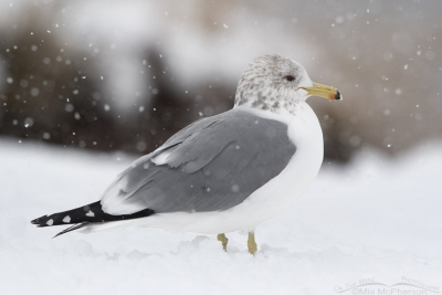 California Gull in a snow storm