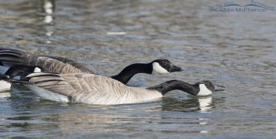 Three Canada Geese exhibiting aggressive behavior