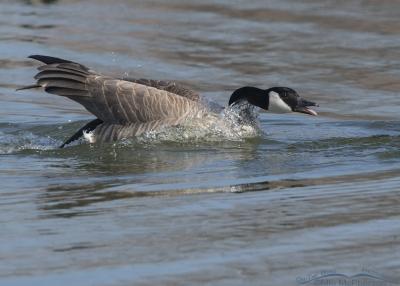 Canada Goose threat display
