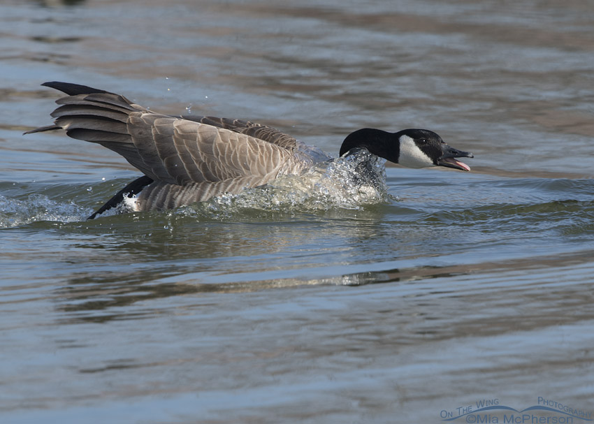 Canada Goose threat display