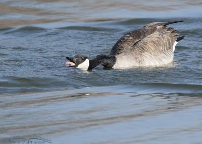 Canada Goose exhibiting intense threat display