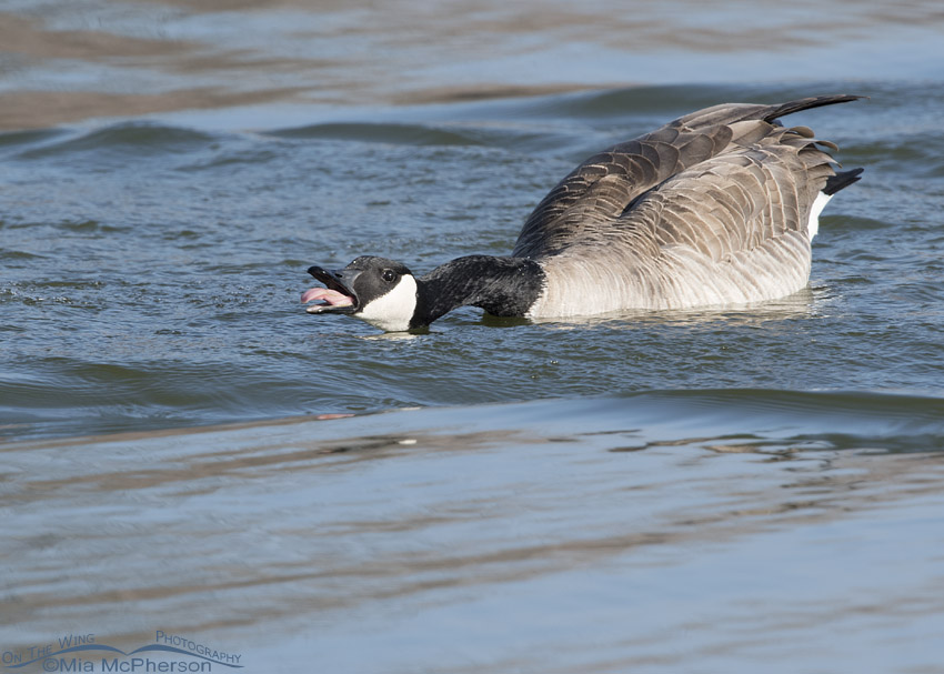 Canada Goose exhibiting intense threat display