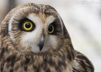 Close up of Galileo - HawkWatch International's newest education bird