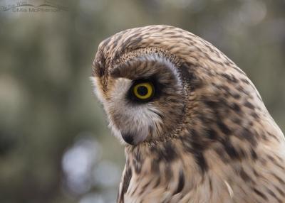 Galileo the Short-eared Owl outside