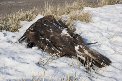 Deceased Golden Eagle