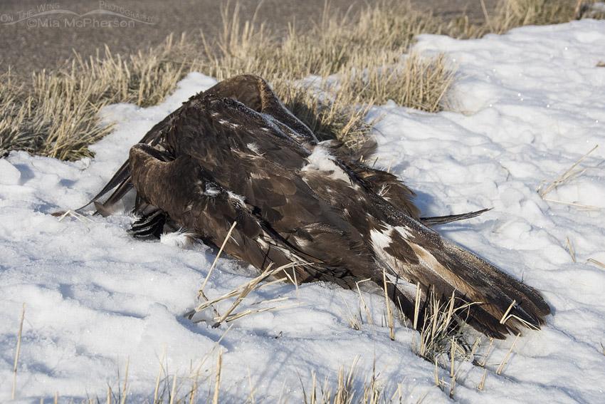 Deceased Golden Eagle