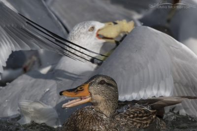 Mallard caught in a Ring-billed Gull feeding frenzy