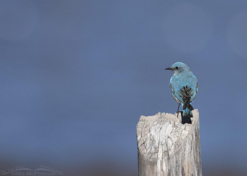 Male Mountain Bluebird in Wayne County, Utah