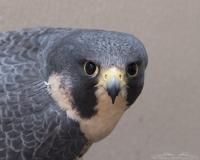 Goose the Peregrine Falcon - A HawkWatch International education bird