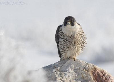Peregrine Falcon on a winter morning