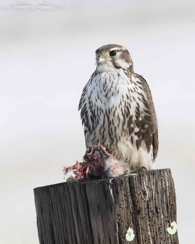 Perched Prairie Falcon with prey